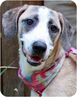 Labrador Retriever/Hound (Unknown Type) Mix Dog for adoption in Pawling, New York - BANDI