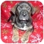 Photo 1 - English Mastiff/Pit Bull Terrier Mix Puppy for adoption in Wauseon, Ohio - english mastiff