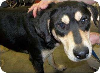 Rottweiler Mix Dog for adoption in Rapid City, South Dakota - Prince