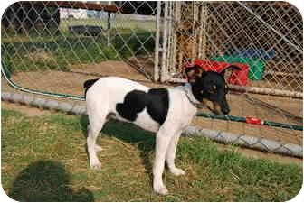 Rat Terrier Puppy for adoption in Bunkie, Louisiana - Scooter