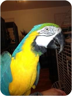 Macaw for adoption in Punta Gorda, Florida - Misty