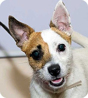 Jack Russell Terrier Dog for adoption in Rhinebeck, New York - Jemma