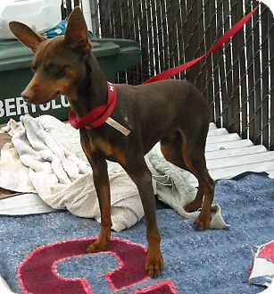 Miniature Pinscher Dog for adoption in Gustine, California - MILO