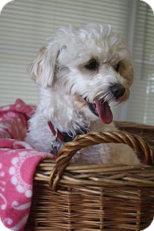 Poodle (Miniature)/Yorkie, Yorkshire Terrier Mix Dog for adoption in Huntsville, Alabama - Zoey