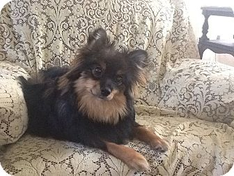 Australian Shepherd/Pomeranian Mix Puppy for adoption in Hilliard, Ohio - Teddie