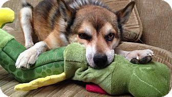 Shiba Inu/Sheltie, Shetland Sheepdog Mix Dog for adoption in Los Angeles, California - Cole
