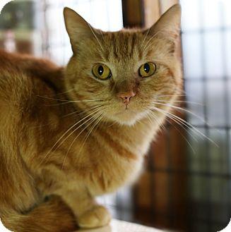 Domestic Shorthair Cat for adoption in Redondo Beach, California - Simba