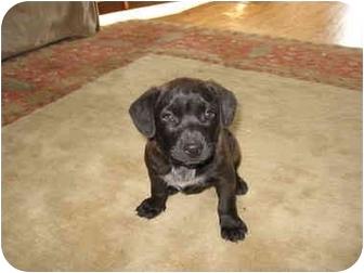 Labrador Retriever Mix Puppy for adoption in Macon, Georgia - Ariel