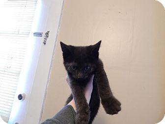 Domestic Shorthair Kitten for adoption in Webster, Massachusetts - Crusty