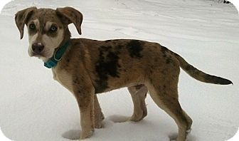 Catahoula Leopard Dog Mix Puppy for adoption in New Oxford, Pennsylvania - Brantley