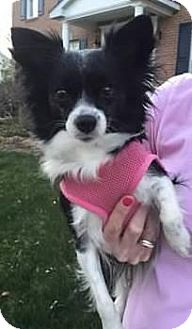 Papillon Dog for adoption in Nationwide, Maryland - Snookie (in Maryland)