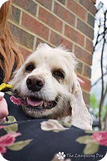 Cocker Spaniel Mix Dog for adoption in Stillwater, Oklahoma - Harvey