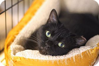 Domestic Shorthair Cat for adoption in Chicago, Illinois - Oklahoma
