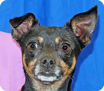 Chihuahua Mix Dog for adoption in Spokane, Washington - Spike