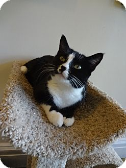 Domestic Shorthair Cat for adoption in St. Louis, Missouri - Rhea