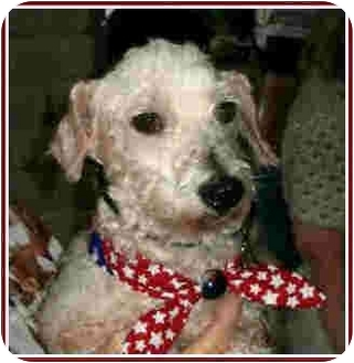 Poodle (Miniature)/Jack Russell Terrier Mix Dog for adoption in Kingwood, Texas - Guidry
