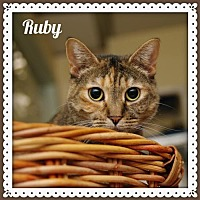Domestic Shorthair Cat for adoption in Island Heights, New Jersey - Ruby