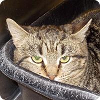 Domestic Shorthair Kitten for adoption in Middletown, New York - Tyson