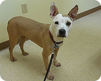 Labrador Retriever/Pit Bull Terrier Mix Dog for adoption in Amherst, Ohio - LUCY