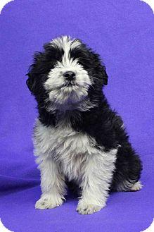 Border Collie/Poodle (Miniature) Mix Puppy for adoption in Westminster, Colorado - Jessica