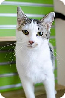 Domestic Shorthair Cat for adoption in Peace Dale, Rhode Island - Fata
