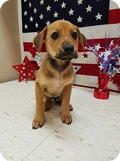 Shepherd (Unknown Type) Mix Puppy for adoption in Patterson, New York - Cali