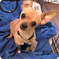 Adopt A Pet :: Kirk - AUSTIN, TX