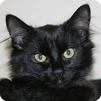 Domestic Shorthair Kitten for adoption in Port Angeles, Washington - Luke