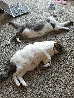 Domestic Shorthair Cat for adoption in Redding, California - Nattie & Mimi