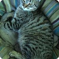 American Shorthair Cat for adoption in Sedalia, Missouri - Keenan