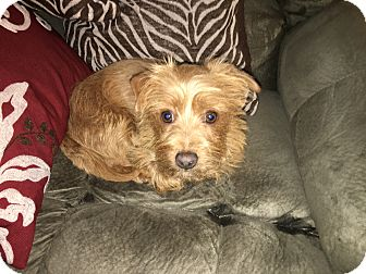 Terrier (Unknown Type, Small) Mix Dog for adoption in Gig Harbor, Washington - Scotty - Adoption pending