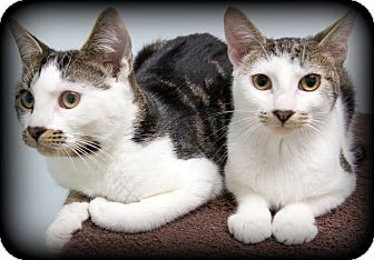 Domestic Shorthair Kitten for adoption in Montclair, New Jersey - Petey and Spanky