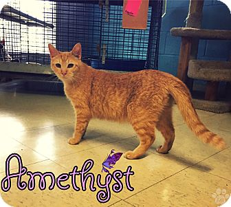 Domestic Shorthair Cat for adoption in Converse, Texas - Amethyst