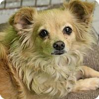 Adopt A Pet :: Lil Bit - Phoenix, AZ