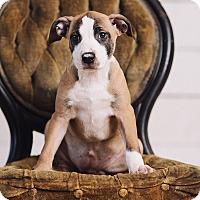 Adopt A Pet :: Topaz - Portland, OR