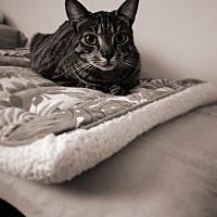 Adopt A Pet :: Jade - Miami Shores, FL