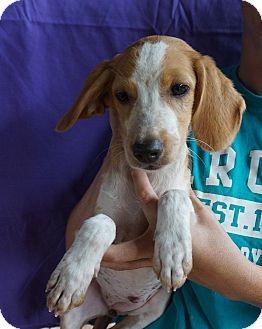 Dachshund/English Springer Spaniel Mix Puppy for adoption in Oviedo, Florida - Jade