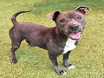 Pit Bull Terrier Dog for adoption in Waco, Texas - TRISTAN