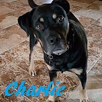 Adopt A Pet :: Charlie - Maple Grove, MN