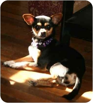 Miniature Pinscher/Chihuahua Mix Dog for adoption in Sherman Oaks, California - Chaquita