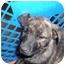 Photo 2 - Boxer/Border Collie Mix Puppy for adoption in No.Charleston, South Carolina - Treasure