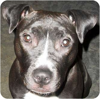 American Pit Bull Terrier Mix Dog for adoption in Troy, Michigan - Isabella