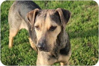 Catahoula Leopard Dog/Hound (Unknown Type) Mix Dog for adoption in Miami, Florida - Lexi