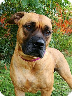Boxer Mix Dog for adoption in Jackson, Michigan - Brittany
