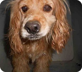 Cocker Spaniel Mix Dog for adoption in Yuba City, California - 11/14 Unnamed