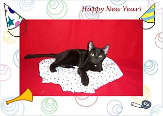 Bombay Kitten for adoption in Taylor Mill, Kentucky - EBONY-DECLAWED 4 MONTH OLD