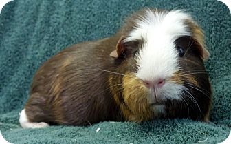 Guinea Pig for adoption in Lewisville, Texas - Rayleigh