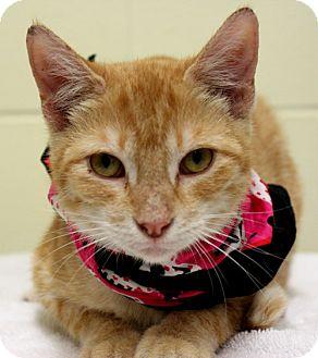 Domestic Shorthair Cat for adoption in Corpus Christi, Texas - Dandelion