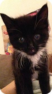American Shorthair Kitten for adoption in Whitestone, New York - Tasha