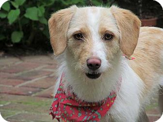 Wirehaired Fox Terrier Mix Dog for adoption in Salem, New Hampshire - JANE